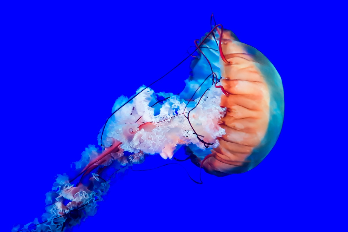 Jellyfish by Sinan Helfenstein